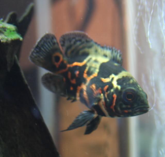 In Stock besides Blue Tiger Oscar Fish further Viewtopic further Bass Striped Morone Saxatilis also OscarDisF10. on albino oscar fish